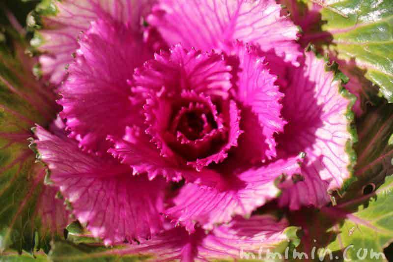 ハボタン・紫の画像