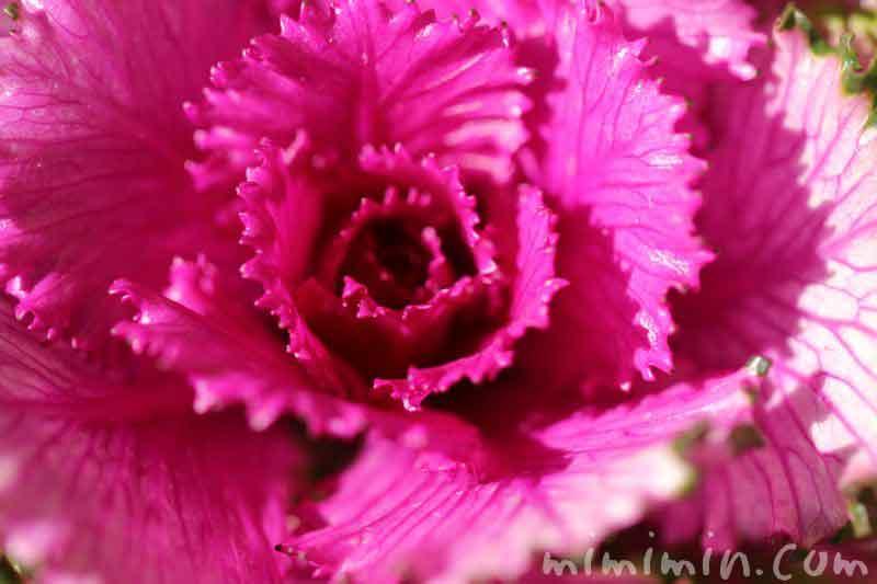 ハボタン(葉牡丹)・紫色の写真