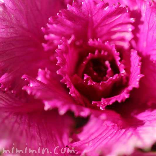 葉牡丹・赤紫の画像