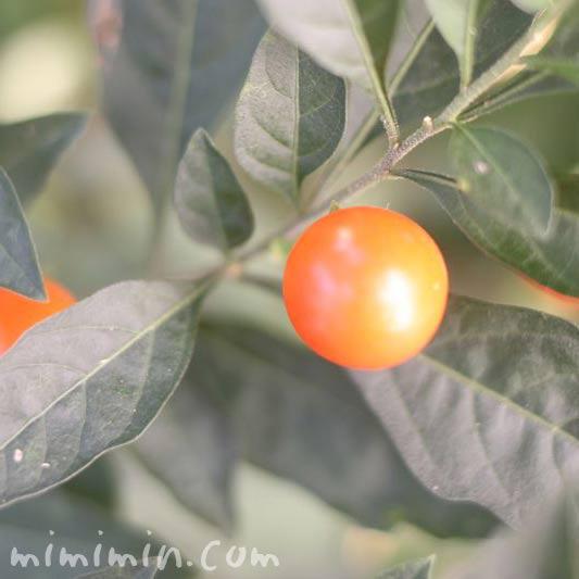 フユサンゴのオレンジ色の実の写真