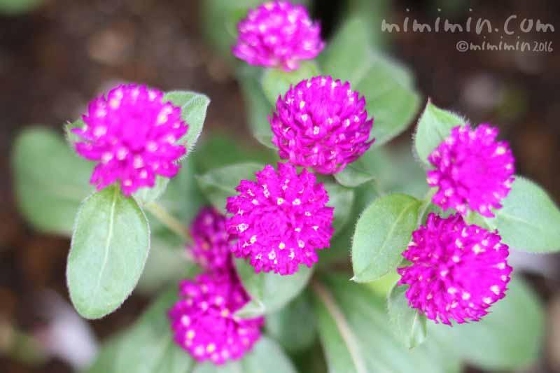 千日紅の花の写真・赤紫色