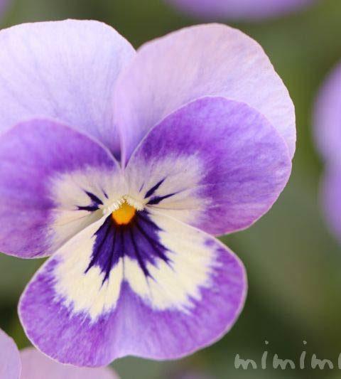 お散歩フォト・紫色のパンジー