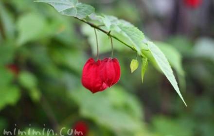 アブチロン・チロリアンランプの花の画像