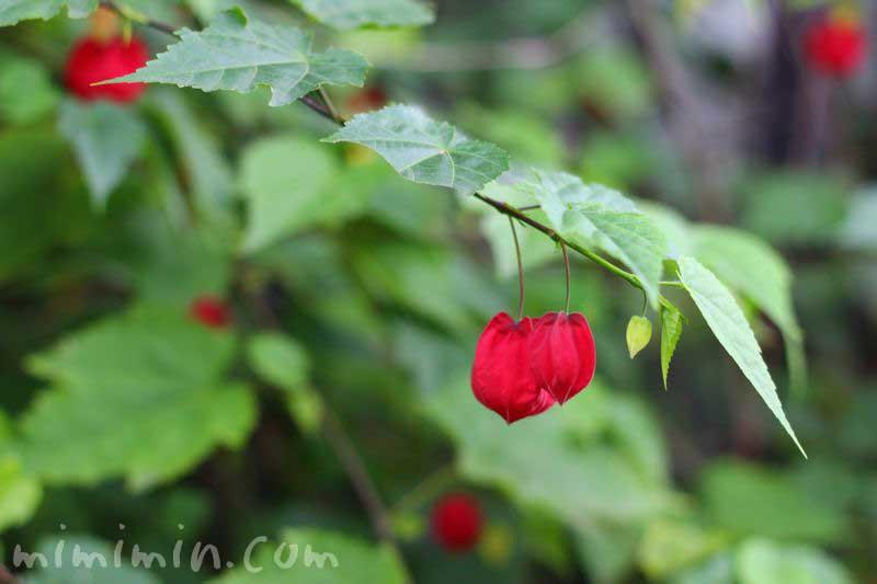 アブチロンの花の写真