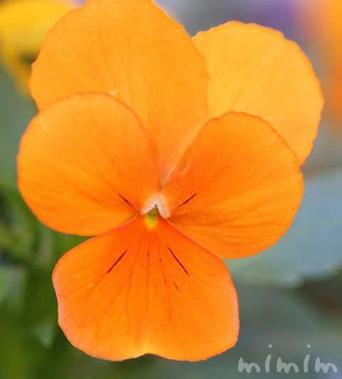 パンジーの花の伝説・花言葉・オレンジ色のパンジーの写真