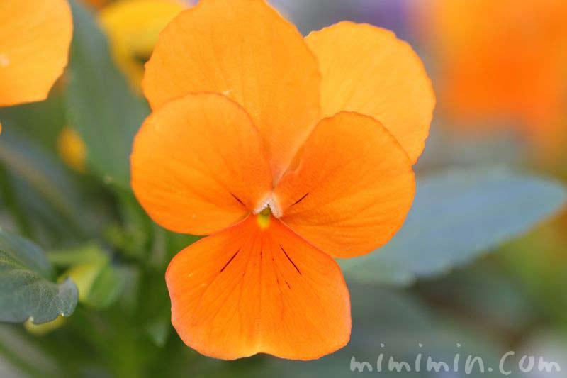 パンジーの花・オレンジ色の写真