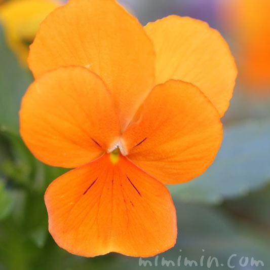 パンジー・オレンジ色の画像
