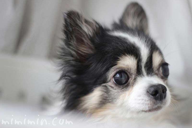 チワワの画像(犬)