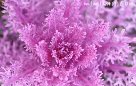 ハボタン・サンゴ系の写真