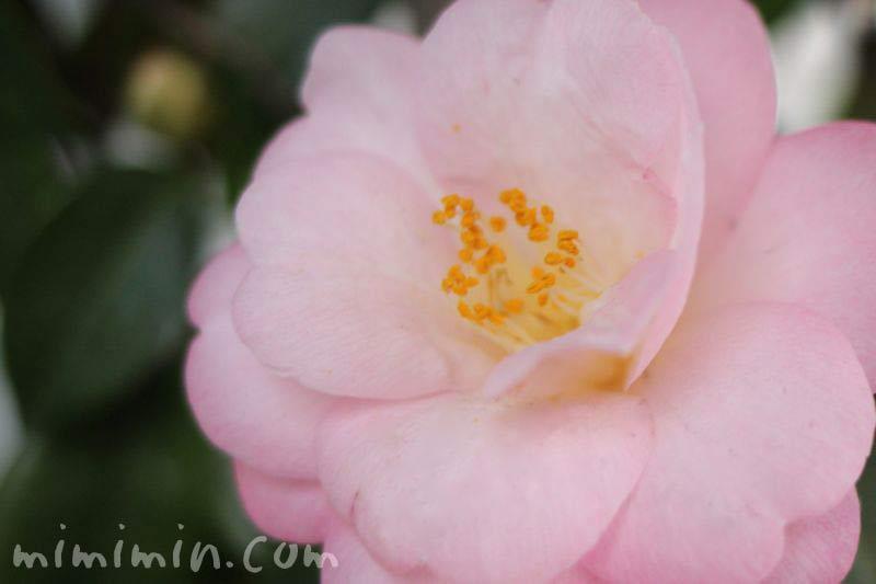薄いピンクの八重咲きサザンカの画像
