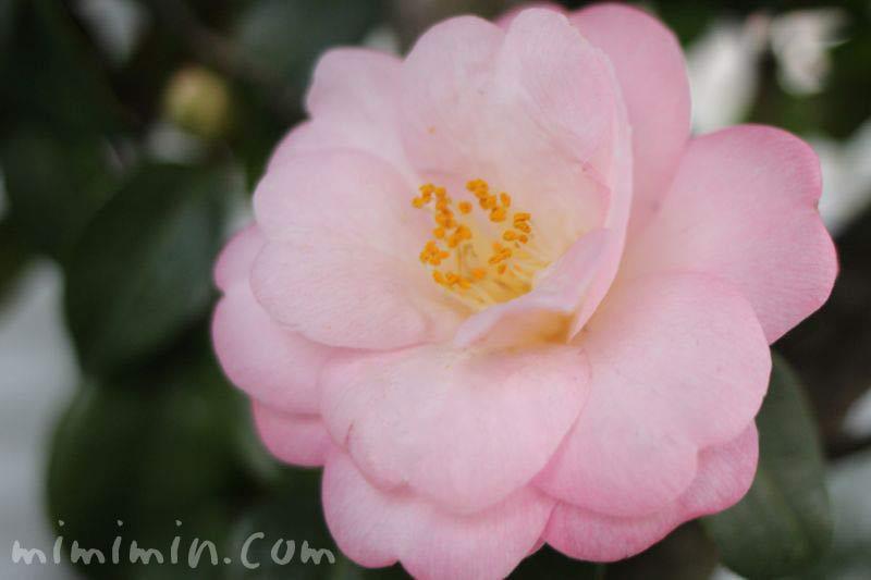 薄いピンクの八重咲きサザンカの花の写真