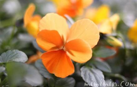 パンジーの花の画像(オレンジ色)
