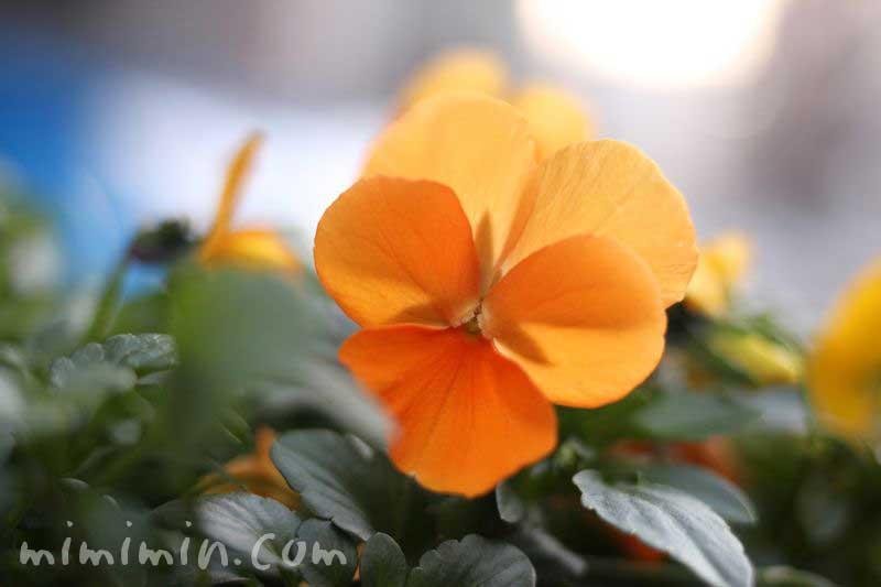 オレンジ色のパンジーの花の画像