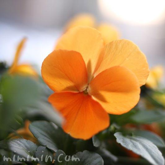 オレンジ色のパンジーの写真