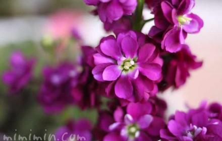ストック(紫)の画像