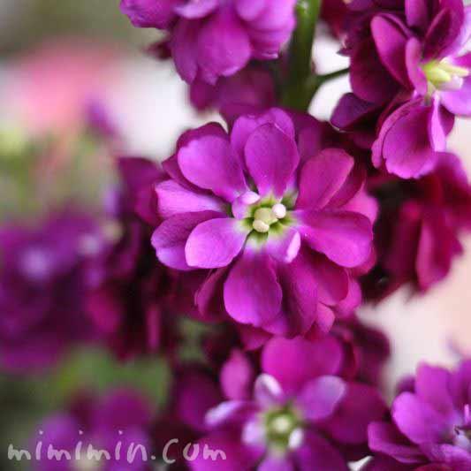 ストックの花の写真(紫)