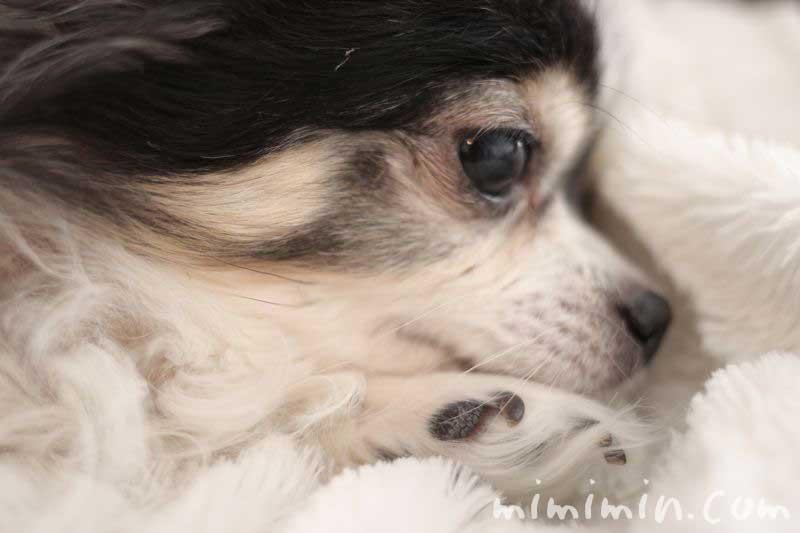 白黒チワワ・寝顔の画像