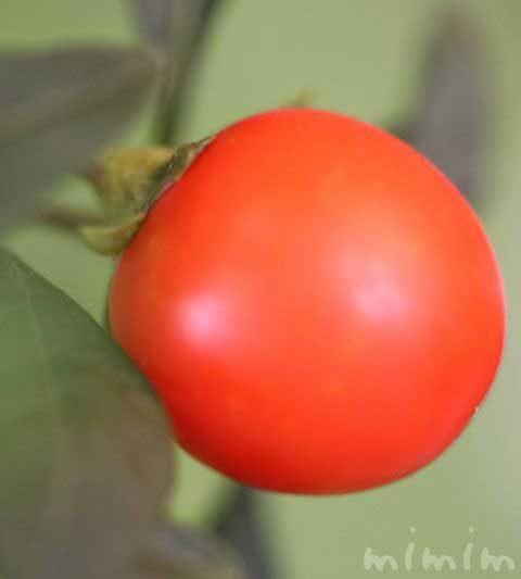 フユサンゴの写真・花言葉|オレンジ色の実