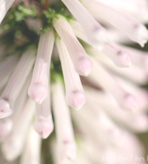 エリカの花言葉・名前の由来・花の写真