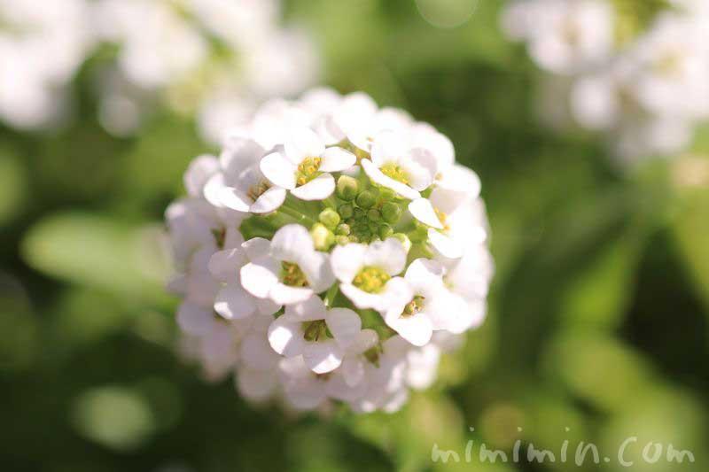 アリッサムの花言葉の画像