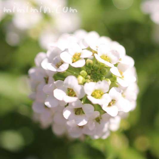 スイートアリッサムの花言葉