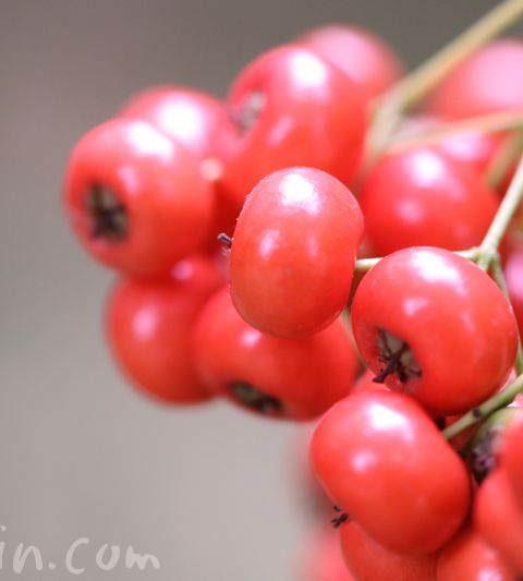 ピラカンサ(トキワサンザシ)|ピラカンサの写真・花言葉