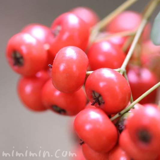 ピラカンサ 赤い実の写真