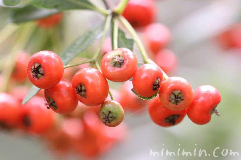 トキワサンザシ 赤い実の画像