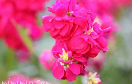 ストックの花・濃いピンク色の写真