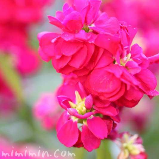 ストック・色別の花言葉・誕生花お写真