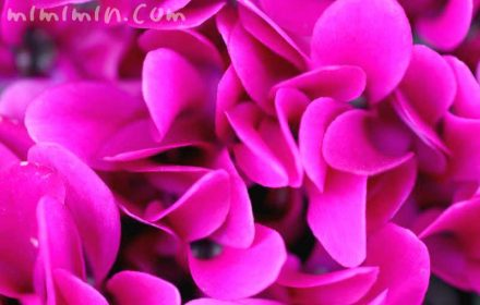 シクラメン・濃いピンク