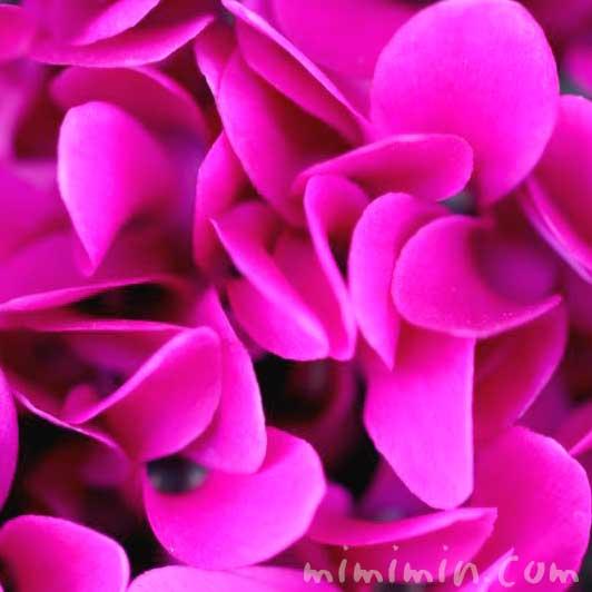 シクラメン・濃いピンクの写真