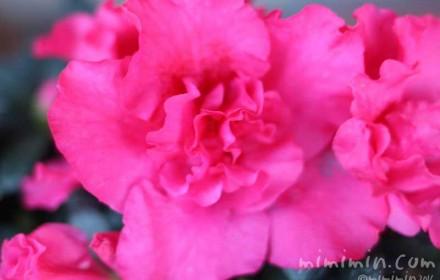 アザレア(ピンク)の画像
