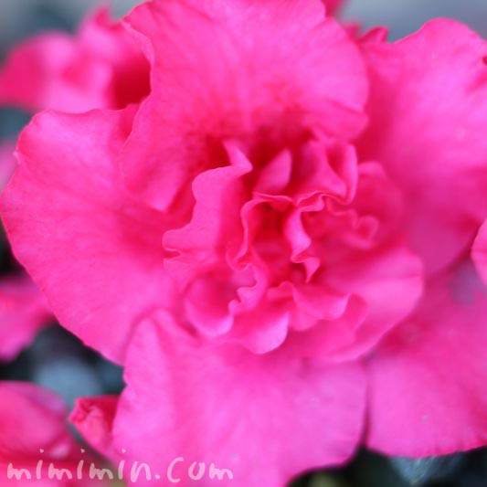 アザレア(ピンク)の花の写真