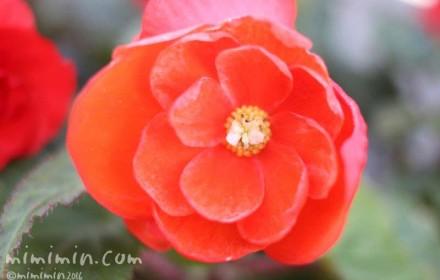 オレンジ色のフォーチュンベゴニアの画像