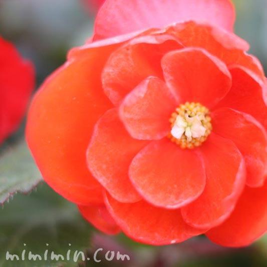 フォーチュンベゴニアの花(球根ベゴニア)の写真