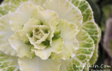 葉牡丹(キャベツ色)の写真