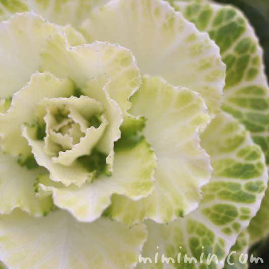 ハボタン(クリーム色×緑色)の画像