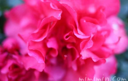 アザレアの花(セイヨウツツジ)の画像