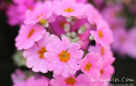 西洋桜草・プリムラ マラコイデスの写真