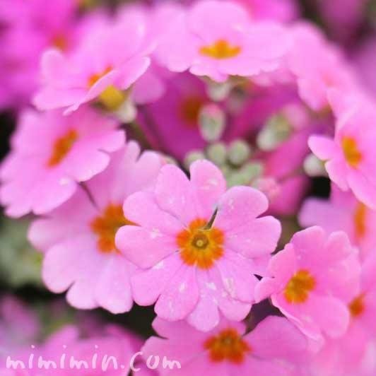 西洋桜草の画像