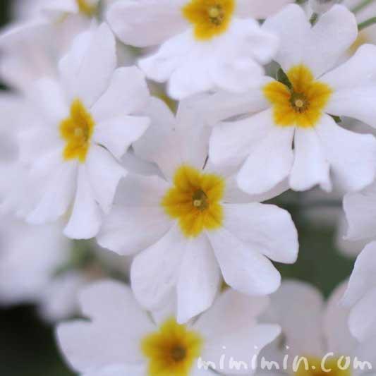 オトメザクラ・白いプリムラマラコイデスの画像