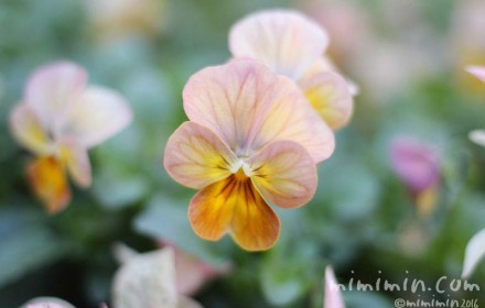 パンジー(バレンタインデーに贈る花)の写真