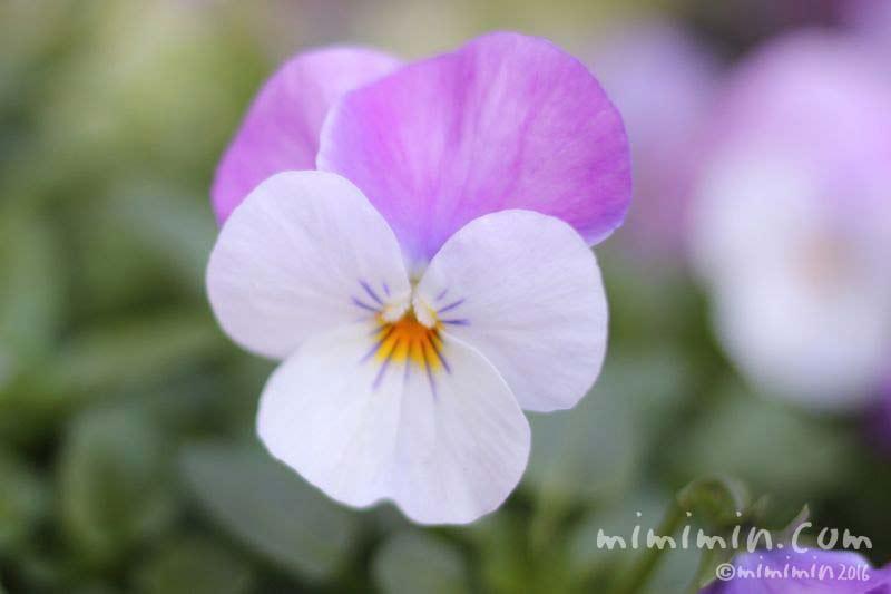 紫色のパンジーの写真