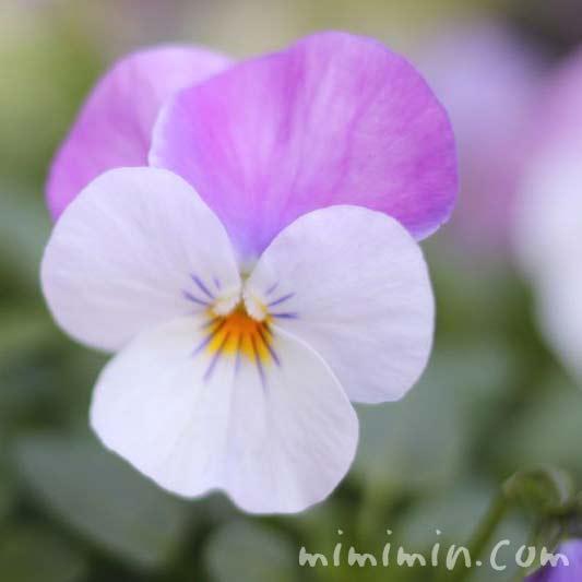 紫色のパンジーの花の画像