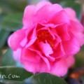 八重咲きサザンカの画像