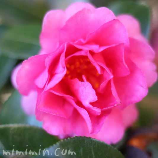 八重咲きサザンカの花の画像