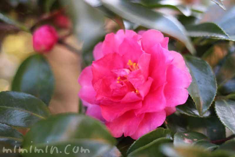八重咲きサザンカの画像(濃いピンク色)