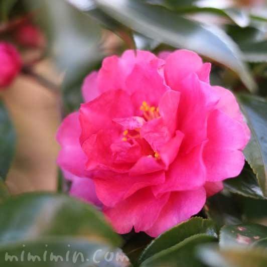 八重咲きサザンカの花の写真(濃いピンク色)