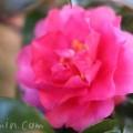 濃いピンク色の八重咲きサザンカの写真